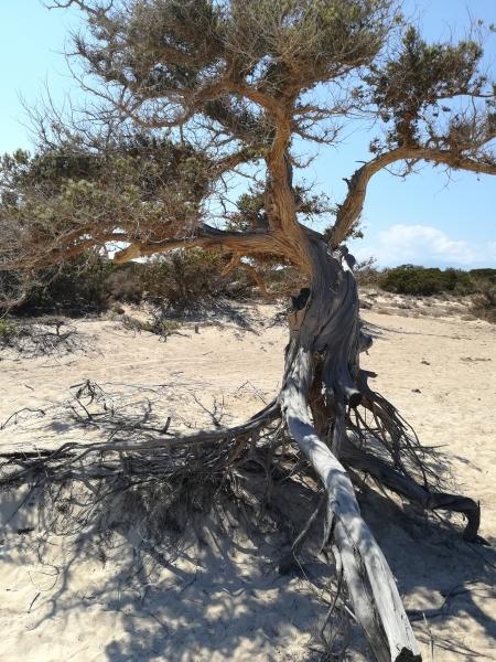 cedro dell'isola di chrisi
